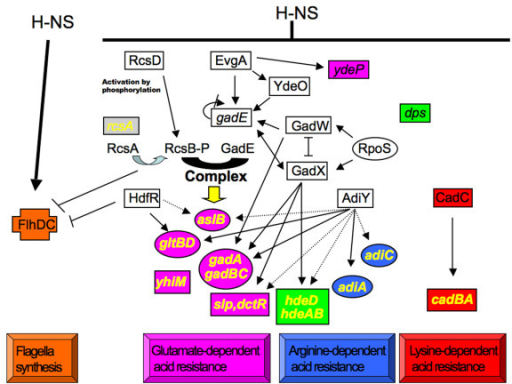 Model of the H-NS-dependent regulatory network in flagella and acid stress control. At the top, H-NS positively controls motility and represses acid stress resistance. Genes in cross symbol are directly activated by H-NS; in rectangle: directly repressed by H-NS; in circle: indirectly repressed by H-NS. Regulatory proteins are indicated with upper case. Orange filling: flagellum synthesis process; Pink filling: glutamate-dependent acid resistance process; Blue filling: arginine-dependent acid resistance process; Red filling: lysine-dependent acid resistance process; Green filling: genes involved in three different acid resistance processes. Gene names in yellow indicate the direct targets of RcsB-P/GadE complex placed at the centre of this regulatory cascade. A positive effect on transcription is indicated by arrows and a negative regulatory effect is indicated by blunt ended lines. Direct regulation is indicated by solid lines. Indirect regulation is indicated by dashed lines. Previously published results are included in the scheme: [1-3,5-7,10,16,32-40].
