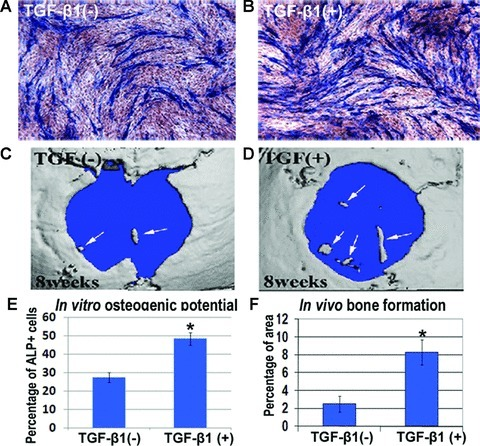 Osteogenic potential of TGF-β1 pre-treated C2C12 myoblasts in vitro and their efficiency in repair skull defect in vivo. In vitro osteogenic differentiation was compared between C2C12 control cells (A) and cells pre-treated with hrTGF-β1 (0.5 ng/ml) (B), by measuring the percentage of cells positive with ALP signal. The efficiency of bone tissue formation in vivo was compared between C2C12 control cells (C) and cells pre-treated with TGF-β1 (D). Four mice in each group (control cells and TGF-β1 treated cells) were included in this study. Some small bone tissue was observed in the defect area at 8 weeks after surgery by micro CT, and TGF-β1 pre-treated C2C12 myoblasts demonstrated a higher efficiency in repairing injured bone (D) compared to the control cells (C). Statistical quantitation of ALP+ cells in vitro (E) and bone tissue formation in vivo was included (F). '*' indicates the value being significantly different with the control cells (TGF-β1–).