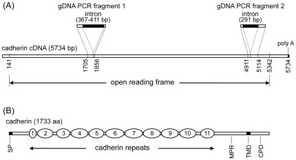 Schematic structures of T. ni cadherin cDNA and deduced protein sequences.(A) The cDNA (5734 bp in length) contains an open reading frame of 5202 bp from position 141 to 5342, and a poly A tail at the 3′ end. Also shown in (A) are two fragments of the genomic DNA of the cadherin gene, gDNA fragment 1 and gDNA fragment 2, amplified by PCR. gDNA PCR fragment 1 corresponds to the cDNA region from base positions 1705 to 1856 and contains an intron of 367–411 bp inserted between the cDNA base positions 1822 and 1823. gDNA PCR fragment 2 corresponds to the cDNA region from base position 4911 to 5114 and contains an intron of 291 bp inserted between cDNA base positions 4969 and 4970. (B) The deduced cadherin sequence (733 aa in length) contains a 21-aa signal peptide at the N-terminus, 11 cadherin repeats (from 1 to 11), followed by a membrane-proximal region (MPR), a transmembrane domain (TMD) of 23 amino acid residues, and a cytoplasmic domain (CPD) of 128 amino acid residues.