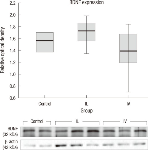Expression of BDNF. Post-injury 1 week BDNF levels in the spinal cord tissues were measured. The relative optical densities in the control, IV and IL groups are 1.58 ± 0.22, 1.39 ± 0.35, 1.70 ± 0.2 respectively. The IL group shows slightly higher level compared to those in the control and IV groups. However, BDNF expression does not show any significant difference between the groups (n = 4, P > 0.05).