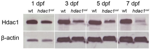 Hdac1 levels are severely reduced in hdac1b382 mutants.Western blots for total Hdac1 from wild-type and hdac1b382 (labeled hdac1col) mutants at 1, 3, 5 and 7 dpf. ß-actin was used as a loading control.