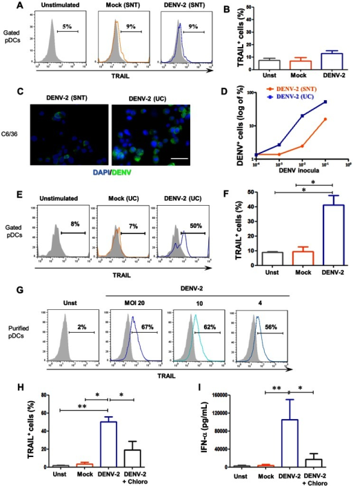 Purified DENV-2-induced in vitro mTRAIL expression and IFN-α production by purified plasmacytoid dendritic cells.PBMCs from healthy donors were stimulated overnight with DENV-2, mock or none (unstimulated). (A) mTRAIL expression profile on pDCs gated from PBMCs (overlay) and (B) mTRAIL positive pDCs for three donors induced by mock SNT (orange) or DENV-2 SNT (blue) using unstimulated (grey fill) pDCs as negative control. DENV positive C6/36 cells infected for 48 h with supernatant of DENV-2-infected C6/36 cells (DENV-2 SNT) or ultracentrifuged DENV-2 SNT (DENV-2 UC) as described in M&M and figure S1. (C) DENV antigens/AlexaFluor488 (green) and nucleus/DAPI (blue) of C6/36 cells infected with DENV-2 SNT (left) and UC (right) at the same inocula dilution (10−3). (D) DENV positive C6/36 cells by flow cytometry in which cells were infected with SNT (orange) or UC (blue) DENV-2 inocula at different dilutions. PBMCs from healthy donors were stimulated overnight with DENV-2 UC, mock UC or none (unstimulated). (E) mTRAIL expression profile on pDCs gated from PBMCs (overlay) and (F) mTRAIL positive pDCs for four donors induced by mock UC (orange) or DENV-2 UC (blue) using unstimulated (grey fill) pDCs as negative control. Freshly purified pDCs were stimulated overnight with DENV-2 UC, mock UC or not (unstimulated). (G) TRAIL expression induced by different MOIs of DENV-2 UC (blue) using unstimulated cells (grey) as negative control. (H) Purified pDCs positive for mTRAIL expression and (I) IFN-α secretion by unstimulated (grey), mock UC (orange), DENV-2-UC-stimulated pDCs pre-treated (black) or not (blue) with chloroquine, for four donors. Values were submitted to paired t test in which * p<0.05 and ** p<0.005.