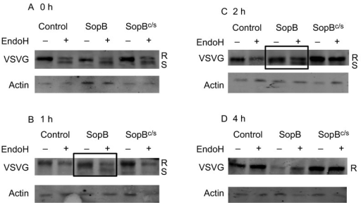 SopB delays transport of VSVG between the ER and Golgi. Immunoblot analysis of VSVG in cells cotransfected with ts045VSVG-GFP and either pEGFP-N2 (control), pEGFP-N2-SopB (SopB) or pEGFP-N2-SopBc/s (SopBc/s) at various time points after the shift to 32 °C. Endoglycosidase H (Endo H)-treated (+) and mock-treated (−) samples are indicated. The mobility of the Endo H-resistant (R; upper band) and -sensitive (S; lower band) forms of the protein is indicated. The boxes in B and C indicate the different Endo H sensitivity pattern exhibited by SopB-transfected cells. Actin immunoblotting is included as a loading control.