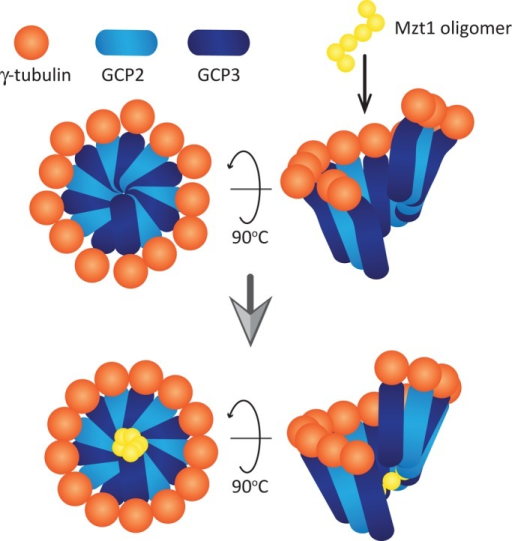 A speculative model for Mzt1 function to activate γ-TuC. Model adapted from the one proposed by Kollman et al. (2011). A ring-like γ-TuSC made of GCP2, GCP3, and γ-tubulin carries 13 γ-tubulins, which are not evenly distributed. Mzt1 oligomer incorporated into the γ-TuC may be recruited to the bottom of the ring-like structure via its interaction with GCP3. The Mzt1 oligomer stabilizes the whole complex, resulting in the 13 γ-tubulin molecules being more evenly distributed and leading to more efficient MT nucleation.