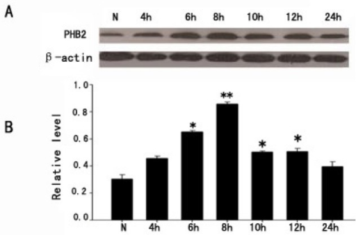 The expression change of PHB2 in H2O2-induced PC12 cells apoptosis. (A) The time courses of PHB2 expressions in PC12 cells after H2O2 stimulus; β-actin was used to confirm equal amounts of protein run on gel; (B) Quantification was made at each time point, the bar chart showed the ratio of PHB2 to β-actin at each time point; these data are means ± SEM. * p < 0.05, ** p < 0.01 (n = 3).