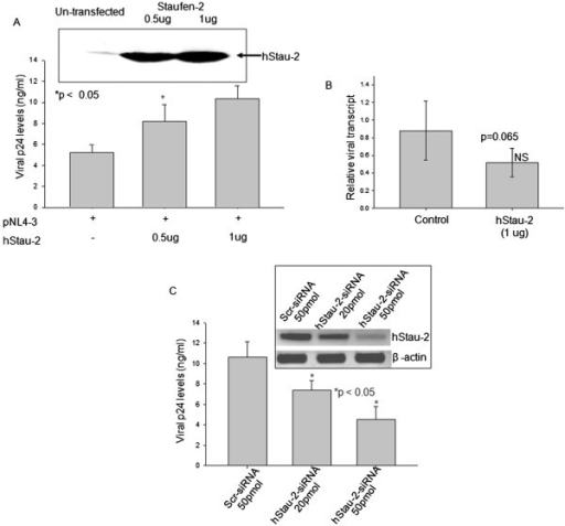 Effect of hStau-2 expression on viral p24 levels. A) Over-expression of hStau-2 increased HIV-1 production: hStau-2 over-expressed HEK293T cells or control cells were transfected with pNL4-3 pro-viral DNA and scored after 48 hours for p24 by ELISA in the culture supernatant. The inset shows over-expression of hStau-2 after transfection with increasing concentration of hStau2-59 construct. There was a significant increase in the p24 levels when 0.5 and 1ug of hStau2-59 construct was used. B) The relative quantification of full length (9 kb) viral transcript. Viral transcripts were quantified from hStau-2 overexpressed and control cells by qRT-PCR and normalized to β-actin. C) siRNA mediated knockdown of hStau-2 reduced HIV-1 production: hStau-2 siRNA or scrambled siRNA were transfected one day prior to pNL4-3 transfection in HEK293T cells. Inset: Semiquantitative RT-PCR gel showing a decrease in hStau-2 expression when hStau-2 specific siRNA was used. The viral p24 levels in the culture supernatant were progressively reduced when hStau-2 specific siRNA was used in a dose dependent manner. The experiments were done more than 3 times and error bars represents ± SD. *p value ≤ 0.05 were taken as significant.