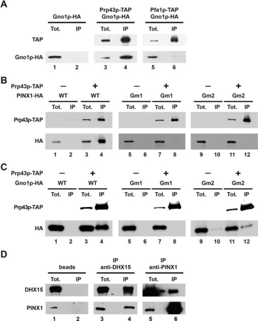 Interactions between Prp43p or DHX15 and the G-patch proteins Gno1p or PINX1. (A) Gno1p-HA associates with Prp43p-TAP. Immunoprecipitations have been performed using IgG sepharose beads and cells expressing Gno1p-HA (lanes 1 and 2), Prp43p-TAP and Gno1p-HA (lanes 3 and 4) or Pfa1p-TAP and Gno1p-HA (lanes 5 and 6). Proteins have been extracted from the pellets (lanes IP) or from 1/320th of the input extracts (lanes Tot.), separated by SDS-PAGE and transferred to nitrocellulose. TAP-tagged proteins have been detected using rabbit PAP and HA-tagged Gno1p using anti-HA antibodies. (B) Human PINX1-HA interacts with Prp43p-TAP in yeast and the integrity of PINX1 G patch is important for this interaction. Immunoprecipitations have been performed as described in (A) using yeast cells expressing PINX1-HA (lanes 1 and 2), Prp43p-TAP and PINX1-HA (lanes 3 and 4), PINX1Gm1-HA (lanes 5 and 6), Prp43p-TAP and PINX1Gm1-HA (lanes 7 and 8), PINX1Gm2-HA (lanes 9 and 10) and Prp43p-TAP and PINX1Gm2-HA (lanes 11 and 12). PINX1Gm1-HA features the L34 to A and L45 to A substitutions, while PINX1Gm2-HA features the L34 to A, G38 to E, G42 to E, G44 to E, L45 to A and G46 to E substitutions. (C) Gno1p-HA interacts with Prp43p-TAP in yeast and the integrity of Gno1p G patch is important for this interaction. Immunoprecipitations have been performed as described in (A) using yeast cells expressing Gno1p-HA (lanes 1 and 2), Prp43p-TAP and Gno1p-HA (lanes 3 and 4), Gno1pGm1-HA (lanes 5 and 6), Prp43p-TAP and Gno1pGm1-HA (lanes 7 and 8), Gno1pGm2-HA (lanes 9 and 10) and Prp43p-TAP and Gno1pGm2-HA (lanes 11 and 12). Gno1pGm1-HA features the L33 to A, L44 to A and L67 to A substitutions, while Gno1pGm2-HA features the L33 to A, G37 to E, G41 to E, G43 to E, L44 to A, G45 to E and L67 to A substitutions. (D) PINX1 interacts with DHX15 in HeLa cells. Immunoprecipitations have been performed with HeLa cell extracts using an anti-DHX15 serum (lanes 3 and 4), an anti-PINX1 serum (lanes 5 and 6) or no serum (lanes 1 and 2). Proteins extracted from the pellets (lanes IP) or from 1/30th (top lane) or 1/250th (bottom lane) of the input extracts (lanes Tot.) have been processed as described in (A) and detected using the anti-DHX15 or anti-PINX1 sera.