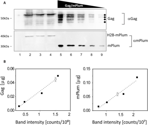 Quantifying the bulk expression levels of H2B-mPlum and Gag.(A) Quantitative western blot. Lane 1: non-transfected cells. Lanes 2, 3, 4: biological replicates of total cell extracts from Cos7 cells transfected with the pH2B-mPlum/Gag construct. Gag (the diamonds indicate bands corresponding to degradation products that were included in the quantification) and H2B-mPlum were detected using specific anti-Gag and anti-RFP antibodies. Lanes 5, 6, 7, 8, 9: purified Gag (upper panel) and mPlum (lower panel) ranging from 6.25 to 100 ng and 15 to 240 ng respectively. (B) Calibration curves obtained from serial protein dilutions (closed squares, from lanes 5–9) and measured Gag and H2B-mPlum concentration in cell extracts (open square, from lanes 2–4, mean and standard deviation for the triplicate are shown). The bands corresponding to the highest concentrations were omitted in the fit, their intensity being close to saturation.