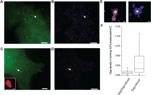 Unlabeled and labeled Gag protein incorporation into forming VLPs.(A) Diffraction limited image and (B) corresponding super-resolution image of a Cos7 cell expressing Gag-mEos2 only. (C) Diffraction limited image and (D) corresponding super-resolution image of a Cos7 cell co-expressing Gag and Gag-mEos2, co-transfected at an equimolar ratio. The presence of Gag is indicated via the fluorescent reporter protein H2B-mPlum (lower left inset). Scale bars, 5 µm. (E) Left, zoom of indicated VLP in (B). Right, zoom of indicated VLP in (D). Scale bars, 100 nm. (F) Gag density in forming VLPs as determined from PALM images and molecular counting. Closed squares indicate the mean, horizontal lines within the boxes median, and boxes indicate 25th and 75th percentiles while vertical bars indicate 5th and 95th percentiles. Cells co-expressing unlabeled and labeled Gag display lower densities, indicating the presence of unlabeled Gag proteins within clusters, invisible to fluorescence detection.