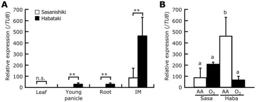 Relative levels of APO1 transcript in different organs.(A) APO1 transcript levels in the fourth leaf, young panicle (10 days before heading), root, and an inflorescence meristem (IM; 23 days before heading). (B) Ozone-induced changes in the APO1 transcript level in inflorescence meristems of Sasanishiki (Sasa) and Habataki (Haba). Values are mean ± SD (n = 3). AA, ambient air; O3, elevated ozone. n.s., not significant; **P<0.05 (Student's t-test, A). Bars topped by the same letters are not significantly different (Tukey's HSD test, P<0.05, B).
