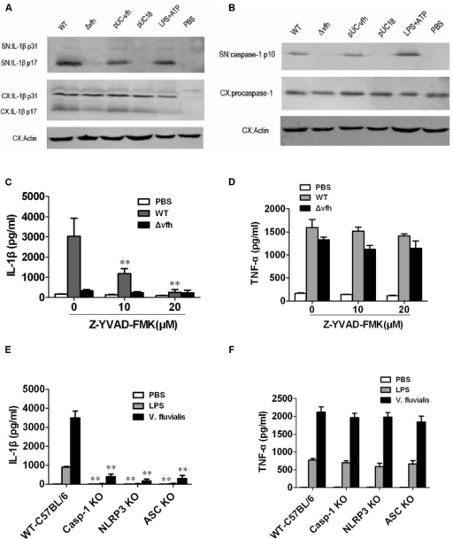 Vibrio fluvialis-secreted hemolysin-induced IL-1β secretion is dependent on Caspase-1 and NLRP3 inflammasome activation in mouse BMM. BMMs (1 × 106) were infected with WT, Δvfh, pUC-vfh, or pUC18 V. fluvialis strains at MOI 50 for 3 h or were incubated with PBS (negative control) or LPS + ATP (positive control). (A) Amounts of IL-1β p17 and p31 in supernatant (SN) and cell extract (CX) were visualized by Western blotting. (B) Amounts of active Caspase-1 p10 and procaspase-1 and in SN and CX were visualized by Western blotting. (C,D) The levels of IL-1β secretion (C) and TNF-α secretion (D) after infection of BMMs in the presence of the Caspase-1 inhibitor Z-YVAD-FMK were measured by ELISA. (E,F) The levels of IL-1β secretion (E) and TNF-α secretion (F) were measured in BMMs isolated from WT C57 B/6 or Caspase-1-/-, Nlrp3-/-, or Asc-/- mouse after infection with V. fluvialis. Values represent the mean + SD of triplicates and are representative of three independent experiments. ∗P < 0.05; ∗∗P < 0.01.