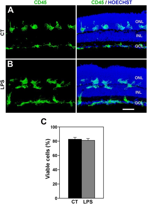 LPS treatment does not modify the distribution of microglial cell and cell viability.A, B: Distribution of microglial cells in control (A, CT) and LPS-treated (B, LPS) retinal explants. Left panels display microglial cells labeled with anti-CD45 antibody, while right panels also show cell nuclei stained with Hoechst. The distribution of microglia in LPS-treated explants is similar to that of untreated explants. Representative images of 3 different explants per condition. Scale bar, 50 μm. C: Bar graph showing that LPS treatment has no significant effect on cell viability in retinal explants. Bars represent mean values ± SEM of 5 explants).