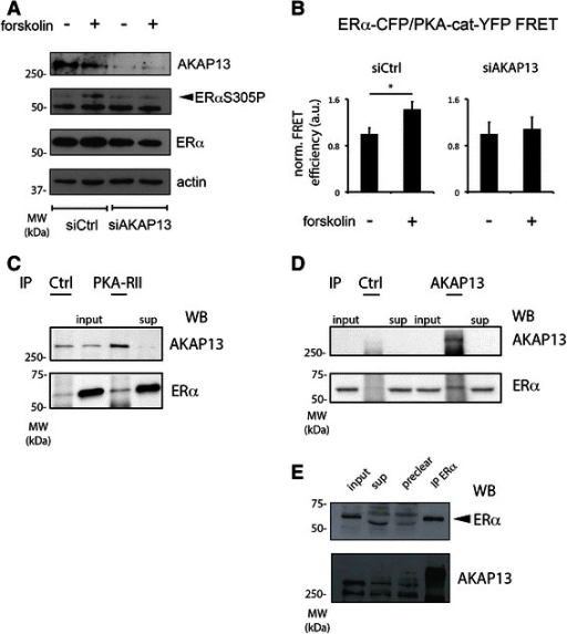 AKAP13 is required for PKA-induced ERαS305 phosphorylation and interacts with ERα and PKA-RII. a siRNA targeting AKAP13 prevents PKA-induced ERαS305 phosphorylation. MCF-7 breast cancer cells were transfected with an siRNA targeting AKAP13 or a control siRNA, after which the cells were treated for 1 h with 10 μM forskolin or left untreated. Samples were analysed by SDS-PAGE and Westernblotting, probing with antibodies detecting AKAP13, ERαS305P, ERα or actin as a loading control. b AKAP13 is required for a forskolin-enhanced ERα/PKA-cat interaction. Estrogen Receptor-negative U2OS cells were transfected with CFP-tagged ERα, YFP-tagged PKA catalytic subunit and a non-tagged PKA regulatory RII subunit. In addition, cells were transfected with an siRNA targeting AKAP13 or a control siRNA. Energy transfer from the CFP to the YFP fluorophore was measured in the same cell before and after 1 h of 10 μM forskolin treatment, and the average value prior to treatment was set on 1. N > 10. Bars indicate SEM. A student's T-test was performed; p < 0.05. c, d, e AKAP13, ERα and PKA-RII form a complex. MCF-7 cells were hormone deprived for 3 days to deplete activated ERα transcriptional processes. Following that, cells were lysed for immunoprecipitations, directed at PKA-RII (c), AKAP13 (d), ERα (e) or a negative control protein. In addition, input and supernatant (sup) samples were taken. Western blots were probed with antibodies detecting AKAP13, ERα and PKA-RII