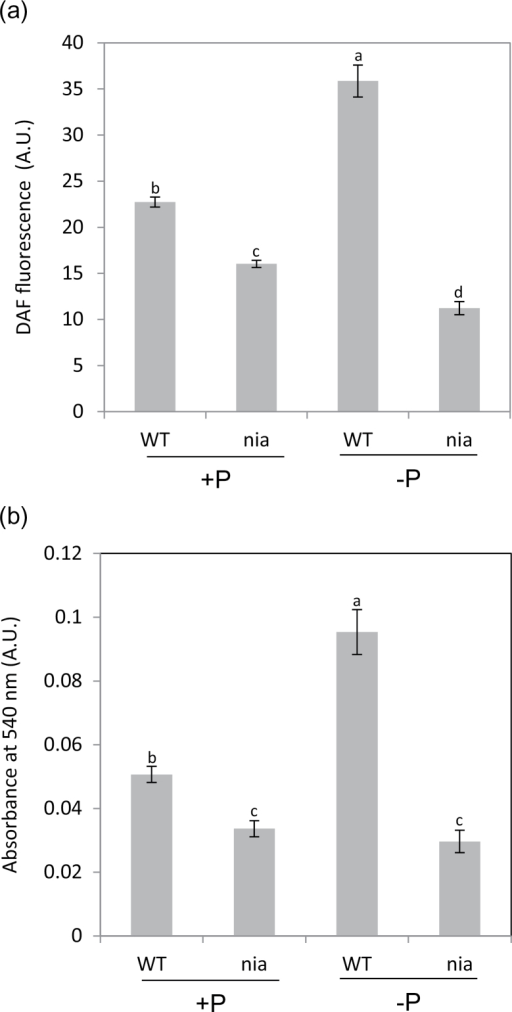 Effect of Pi supply on the NO level in Arabidopsis roots. NO was quantified in the roots of 14-d-old WT and nia seedlings grown on a medium containing 0 or 1mM Pi by: (A) DAF-2DA fluorescence; and (B) a gas phase Griess reagent assay. Means (n=3) with different letters are significantly different (one-way ANOVA, P< 0.05).