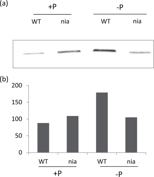 Effect of Pi supply on the AOX level in Arabidopsis seedlings. (A) Detection of AOX1A by immunoblotting in the mitochondrial protein fraction from 10-d-old WT and nia seedlings grown on a medium containing 0 or 1mM Pi. (B) Bands were quantified using Image J software (n=2).