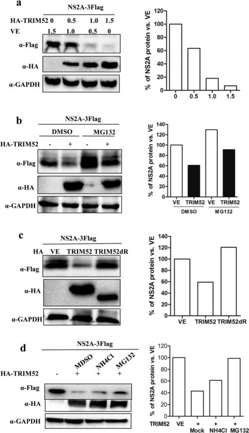 TRIM52 mediates NS2A degradation of NS2A.(a) Co-transfection of 293T cells with a fixed amount of NS2A-expressing plasmid and with increasing amounts of TRIM52-encoding plasmid, empty vector was used to equalize the doses of DNA plasmid. The cells were collected at 30 hpt, and the protein levels of TRIM52, and NS2A were evaluated through Western blot analysis. GAPDH was used as normalizer, and relative quantification of detected signal was analyzed using Image J software (right panel). (b) The 293T cells were co-transfected with 50 ng of NS2A-expressing plasmid plus 2000 ng of TRIM52-encoding plasmid or with empty vector. MG132 or DMSO was added at 24 hpt, and the cells were collected after 10 h of treatment. The protein levels of TRIM52, and NS2A were evaluated through Western blot analysis. GAPDH was used as normalizer, and relative quantification of detected signal was analyzed using Image J software (right panel). (c) The 293T cells were co-transfected with 50 ng of NS2A-expressing plasmid plus 2000 ng of wild type or RING domain lacking TRIM52-encoding plasmid or with empty vector. The cells were collected at 30 hpt, and the protein levels of TRIM52, and NS2A were evaluated by Western blot analysis. GAPDH was used as normalizer, and relative quantification of detected signal was analyzed using Image J software (right panel). (d) The 293T cells were co-transfected with 50 ng of NS2A-expressing plasmid plus 2000 ng of TRIM52-encoding plasmid or with empty vector. MG132, NH4Cl (20 mM) or DMSO was added at 24 hpt, and the cells were collected after 10 h of treatment. The protein levels of TRIM52, and NS2A were evaluated through Western blot analysis. GAPDH was used as normalizer, and relative quantification of detected signal was analyzed using Image J software (right panel).
