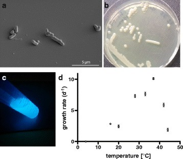 a Scanning-electron micrograph of P. citronellolis P3B5. bP. citronellolis P3B5 grown on LB agar for 4 days. cP. citronellolis P3B5 grown in M9 minimal medium for 20 h excited by UV light exhibiting strong fluorescence. d Growth of P. citronellolis P3B5 was analyzed by measuring the optical density at 600 nm at the different temperatures for 24 h. 12 to 15 replicate measurements were performed for each temperature. By plotting the observed growth rate during the exponential growth phase at different temperatures, it was determined that the ideal growth temperature of P. citronellolis P3B5 is around 37 °C. No growth was observed at 4 °C