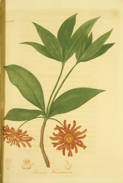 <p>Colored engraving of a flowering star anise.</p>