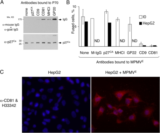 Antibodies to tetraspanins CD9 and -81 inhibit fusion by MPMVE. (A) Aliquots of MPMVE were incubated with indicated antibodies, washed, and analyzed by immunoblotting (see Materials and methods). (B) Exosomes were treated with indicated antibodies and tested in the fusion assay with I0 or HepG2 cells, which express no CD81 (C). The experiments were done three times with I0 cells, except that total mouse IgG was used as a control only in two of these experiments, and the experiments with HepG2 cells were done twice. ND, not done. The error bars indicate SD. (C) CD81 is transferred to HepG2 cells by MPMVE. HepG2 cells cultured for 22 h without (left) or with (right) MPMVE from IEH cells were probed with an antibody to CD81 (red). The nuclei were visualized with Hoechst 33342 (blue).