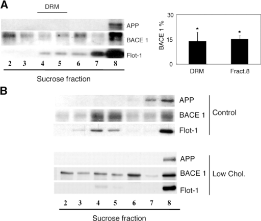 BACE 1 is displaced from DRMs and cofractionates with APP in heavier membrane fractions of low membrane cholesterol AD hippocampi and hippocampal neurons in culture. (A) Immunoblots for APP, BACE 1, and flotilin1 in representative low membrane cholesterol AD hippocampal sample after Lubrol WX extraction and sucrose gradient centrifugation. Note that BACE 1 migration is shifted to the heavy APP-containing fraction 8. DRM modification is shown by a similar shift in the flotation characteristics of the DRM marker flotilin 1 (compare with Fig. 1 A). For quantification, the amount of BACE 1 in fractions 4 and 5 of sucrose gradients (DRM fraction) and fraction 8 (heavy APP-containing fraction) was measured by densitometry. The percentage of BACE 1 in DRMs is significantly reduced to 14% (graph, * indicates P < 0.005) compared with 24% in control samples (Fig. 1 A, graph). Conversely in the APP-containing fraction 8 BACE 1 content is increased to 15% compared with 10% in control samples (Fig. 1 A, graph). Data are means and SDs from 10 low cholesterol AD samples. (B) Moderate membrane cholesterol reduction in vitro displaces BACE 1 from DRMs. Hippocampal neurons grown for 5 d in culture were treated (low chol.) or not (control) with low concentrations of mevilonin and MCD for 5 d (see Materials and methods). This treatment induced <30% reduction in membrane cholesterol. Sucrose gradient fractionations after Lubrol WX extraction and Western blotting for APP and BACE 1 show that in control neurons BACE 1 peaks in fractions 4 and 5 (DRMs), whereas in low cholesterol neurons BACE 1 is spread along the gradient, with a relative enrichment in the APP-containing fraction 8. Disruption of DRMs is shown by the almost complete absence of flotilin 1 in fractions 4 and 5 and the relative enrichment in heavy fraction 8 (compare Flot-1 lines in control and low chol. samples).