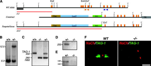 Generation of TAG-1–deficient mice. (A) Map of recombination strategy showing part of TAG-1 gene locus including exon 2, which encodes the ATG and signal sequence. Below is the tau-LacZ–containing targeting construct and the predicted locus after targeting. Red lines indicate HindIII fragments detected with 5′ probe (black box). Orange and blue arrows indicate PCR primers used in C and D, respectively. (B) Southern blot showing targeting of construct in ES cells with HindIII digest and 5′ probe. (C) Detection of targeted locus in wild-type (+/+), heterozygous (+/−), and homozygous (−/−) mice by PCR. Wild-type TAG-1 allele detected by orange primer pair (see A) gives and ∼450-bp product, whereas targeted allele detected by neo-specific primers gives an ∼260-bp product. (D) RT-PCR to detect TAG-1 mRNA in postnatal cerebellum using blue primer set (see A). The expected 255-bp product is detected in heterozygote but not homozygote animals. (E) Western blot of postnatal cerebellum lysates from heterozygote and homozygote mice blotted with anti-TAG-1 pAbs. TAG-1 protein is detected in heterozygote mice, but not in the mutant. (F) Double-immunofluorescence staining of teased sciatic nerves from adult wild-type (WT), or TAG-1– (−/−) mice using antibodies to Na+ channel (red) and TAG-1 (green). Bar, 10 μm.