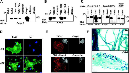 Association of Caspr2 with TAG-1. (A) Association of TAG-1 and Caspr2 in rat brain. Immunoprecipitation (IP) from rat brain membrane lysates was performed using antibodies to TAG-1 (IC12; TAG-1 mAb or rabbit pAb; TAG-1 pAb), Kv1.2, Kv2.1, contactin, or Caspr2 as indicated, followed by immunoblotting with an antibody to Caspr2. Anti-mouse (mBeads) or protein A (rBeads) beads were used as additional controls. (B) Co-immunoprecipitation of TAG-1 and K+ channels. Rat brain membrane lysates were subjected to immunoprecipitation using the indicated antibodies, followed by blotting with an antibody to Kv1.2. Total protein extract (Total) was used to determine the location of Kv1.2 on the gel. Note that Kv1.2 was detected using two different antibodies to TAG-1. (C) Association of TAG-1 and Caspr2 in transfected cells. Lysates of HEK-293 cells expressing Caspr2 and TAG-1, Caspr2 and contactin (CNTN), or Caspr and contactin (Cells), were used for immunoprecipitation (IP) and immunoblotting using different combinations of antibodies as indicated in each panel. Note that Caspr2 associated with TAG-1, but not with contactin, which interacts with Caspr. (D) Immunofluorescence staining showing surface expression of Caspr2. COS-7 cells expressing Caspr2 were stained using an antibody against its extracellular (ECD) or intracellular (CT) region, with or without permeabilization as indicated (−Tx, without Triton X-100; +Tx, with Triton X-100). Caspr2 immunoreactivity was detected using the ECD, but not CT antibody in nonpermeabilized cells. Bar, 50 μm. (E) TAG-1 binds homophilically, but not to Caspr2. A soluble TAG-1–Fc was allowed to bind COS-7 cells expressing TAG-1, Caspr2, Caspr2 and TAG-1, or contactin as indicated. Bound Fc fusion was detected using Cy3-conjugated anti-human Fc antibody (red). Note that TAG-1–Fc only bound to TAG-1– or TAG-1/Caspr2-expressing cells, but not to cells expressing Caspr2 or contactin. The insets on the top right of each panel show staining for the corresponding transfected proteins. Bar, 50 μm. (F) Top: β-galactosidase staining of adult sciatic nerve (SN) from heterozygous TAG-1–LacZ animals. Bottom: β-galactosidase staining of adult dorsal root ganglion (DRG). Intense lacZ expression was detected in cell bodies and the track (asterisk). Bars: D and E, 50 μm; F (top), 50 μm; F (bottom), 100 μm.