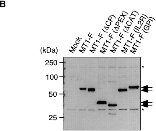Identification of the domain involved in MT1-MMP internalization in CHO-K1 cells. (A) Schematic representation of MT1-MMP mutants used in this experiment. SP, signal peptide; Pro, propeptide; CAT, catalytic domain; H, hinge; PEX, hemopexin-like domain; TM, transmembrane domain; CP, cytoplasmic domain; FLAG, FLAG epitope; GPI, glycosylphosphatidylinositol anchor. (B) Western blot analysis of MT1-MMP mutants expressed in CHO-K1 cells. Molecules expressed in the transfected cells were detected by anti-FLAG M2 antibody. The asterisks (*) indicate the nonspecific band. (C) Amount of MT1-F and mutants expressed on the cell surface calculated from the bound 125I-labeled anti-FLAG M2 antibody. Values are the mean ± SD of three experiments. (D) Internalization of MT1-MMP mutants after a 30-min incubation. Experiments were performed as described in Fig. 1 and the Materials and methods. Values are the mean ± SD of three experiments. The asterisks (*) indicate statistically significant differences (P < 0.001) between MT1-F and the mutant.