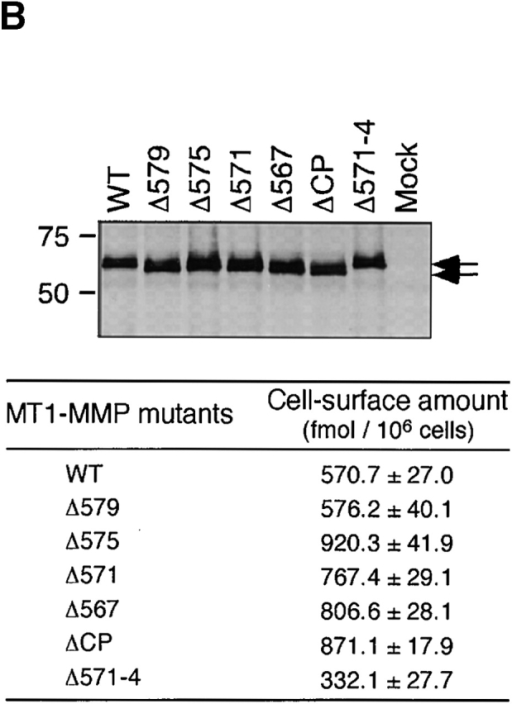 Effect of deleting the cytoplasmic domain on MT1-MMP internalization. (A) Schematic representation of the MT1-MMP cytoplasmic domain deletion mutants. (B) Transiently expressed products in CHO-K1 cells were analyzed by Western blotting using anti-FLAG M2 antibody. Amount of cell surface MT1-F and mutant proteins was calculated from the bound 125I-labeled anti-FLAG M2 antibody. (C) Internalization of MT1-F and its mutant proteins after a 30-min incubation was analyzed as in Fig. 1. Values in B and C are the mean ± SD of three experiments. The asterisks (*) indicate statistically significant differences (P < 0.001) between MT1-F and the mutant.