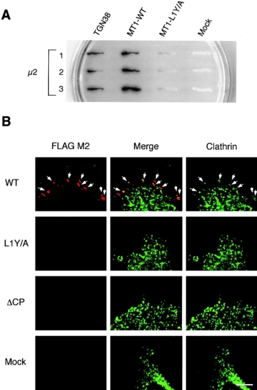 Internalization of MT1-MMP through clathrin-coated vesicles. (A) The interaction of the MT1-MMP cytoplasmic tail with the μ2 subunit of AP-2 was examined by yeast two-hybrid analysis. The cytoplasmic domain sequences derived from MT1-WT and MT1-LY/A were expressed as fusion proteins with the GAL4 DNA binding domain (bait), while the μ2 subunit was expressed as a protein fusion with the GAL4 transcription activation domain (prey). Protein–protein interaction was detected by the X-α-Gal assay. Three independent clones of transformed yeasts were analyzed for each plasmid combination. TGN38 was a positive control. (B) Colocalization of internalizing MT1-F and clathrin. Cells expressing MT1-F or its cytoplasmic mutants (L1Y/A and ΔCP) were incubated with Texas red–labeled anti-FLAG M2 antibody (red) on ice, washed, and then left at 37°C for 5 min to allow for internalization. Clathrin molecules were immunoreacted with goat anti-clathrin antibody and visualized with Alexa™488-conjugated anti–goat IgG (green). The colocalization of internalizing MT1-F and clathrin was observed by washing the cells with acid solution before their fixation and permeabilization. Signals were then examined by confocal laser microscopy. Bar, 5 μm.