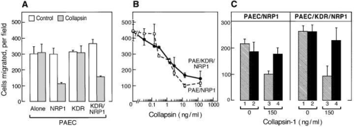 Collapsin-1 inhibits the motility of EC expressing NRP1. (A) PAEC, PAEC/NRP1, PAEC/KDR, and PAEC/KDR/NRP1 were seeded in the upper wells of a Boyden chamber. Collapsin-1 (150 ng/ml) was added (gray bars) or not added (white bars) to the lower wells. (B) PAEC/NRP1 and PAEC/KDR/NRP1 were seeded in the upper wells and increasing concentrations of collapsin-1 were added to the lower wells of the Boyden chamber. (C) PAEC/NRP1 and PAEC/KDR/NRP1 were cultured in complete medium and seeded in the upper wells of a Boyden chamber. For each cell type, either 0 (lanes 1 and 2) or 150 ng/ml (lanes 3 and 4) of collapsin-1 was added in the absence (hatched bars) or presence (solid bars) of 30 μg/ml anti-NRP1 antibodies. For each set of experiments, after a 4-h incubation, the numbers of cells that had migrated through the filter in each field were counted. Each data point represents the mean ± SD of four independent wells.