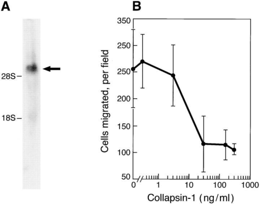Collapsin-1 inhibits the motility of RAEC. RAEC were isolated from rat aortas as described in Materials and Methods and were cultured in DME containing 10% FCS and FGF-2 (1 ng/ml). (A) Northern blot analysis of total RAEC RNA with 32P-labeled rat NRP1 cDNA as a probe. Arrow indicates the position of rat NRP1. (B) The RAEC were seeded in the upper wells of a Boyden chamber and increasing concentrations of collapsin-1 were added to the lower wells. After 4 h, the number of migrated cells per field was counted as in Fig. 2. Each data point represents the mean ± SD of four independent wells.