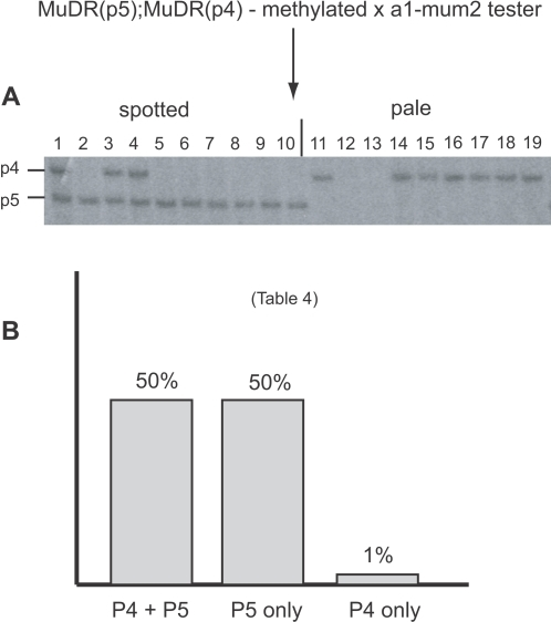 Genetic and Southern blot analysis of a family derived from a plant that carried MuDR(p5) and MuDR(p4) in which reactivation was delayed and both elements were still methylated in the first generation following the loss of Muk.A) XhoI digests of a family segregating for MuDR(p5) and MuDR(p4), in which the female parent carried methylated MuDR(p5) and MuDR(p4). Kernels were separated into classes based on somatic excision frequency, planted, and the resulting progeny plants were subjected to Southern blot analysis. B) Summarized frequency of spotted kernels in progeny of test crosses of plants depicted in panel A.