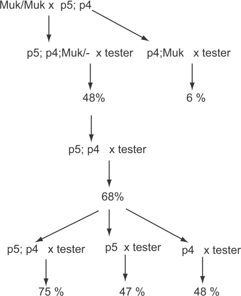 A graphic representation of a lineage in which a plant carrying active MuDR(p5) and MuDR(p4) was crossed to a Muk homozygote, and resulting progeny plants were subsequently test crossed.Percent figures refer to the summarized frequency of spotted progeny kernels derived from each cross.