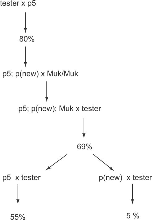 A graphic representation of a lineage in which MuDR(p5) and a duplicate copy of that element were crossed to a Muk heterozygote.Percent figures refer to the summarized frequency of spotted progeny kernels derived from each cross.