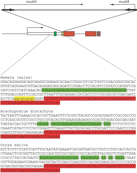 A representation of the region into which MuDR(p5) is inserted.Sequences in yellow represent the target site duplication that was produced upon insertion. Sequences in green are the GA-rich sequences identified near the insertion. Sequences in red are presumed coding sequences. The rice homolog is the gene that best matches the Hemera gene in maize.