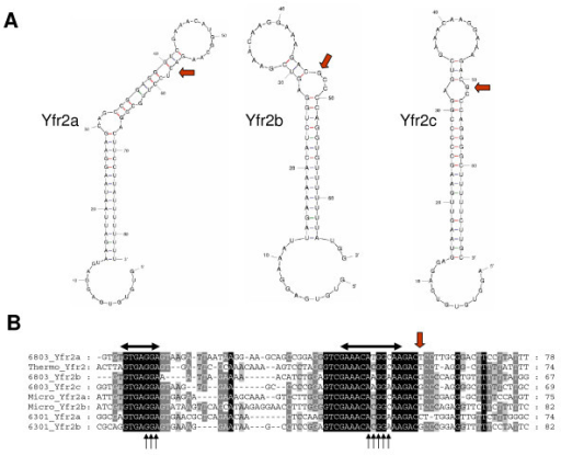 "Sequence alignments and secondary structure predictions of the 8 Yfr2-type ncRNAs identify conserved structure and sequence motifs. A. Secondary structure predictions of the three experimentally confirmed ncRNAs Yfr2a, Yfr2b and Yfr2c from Synechocystis 6803. They share a 12 nt central loop on a long helical stem that is interrupted by at least one bulge at position -4 with regard to this loop (red arrows). Moreover, the first 8–13 nt are predicted to be single-stranded. B. Alignments of all eight predicted Yfr2-type DNA sequences reveal two extremely conserved nucleotide stretches: the short unpaired region at the 5' end as well as the predicted centrally located loop element (labelled by horizontal black arrows). In contrast, the region between these two elements is not conserved in sequence or in its length. The single nucleotide breaking the stem at position -4 with regard to the loop is indicated by a red arrow. Note that the 3' end of the transcribed region has not been mapped. Those sequence stretches resembling ""GGA"" and ""ANGGA"" motifs are labelled by a set of black arrows. The non-Synechocystis 6803 sequences are one from Thermosynechococcus (Thermo_Yfr2), two from Microcystis (Micro_Yfr2a and Micro_Yfr2b) and two from Synechococcus 6301 (6301_Yfr2a and 6301_Yfr2b)."