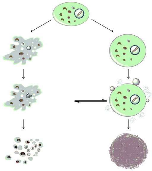 Mode of cell death induced by cisplatin: apoptosis (left) and necrosis (right).