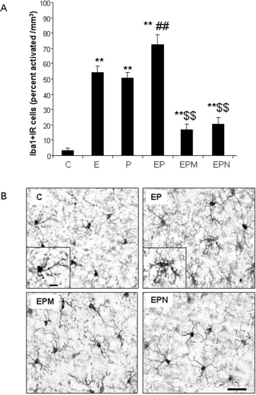 Minocycline and naltrexone block microglial activation.(A) Quantification of activated Iba1 + IR cells in cortex. Ethanol, poly I:C and ethanol-poly I:C treatment groups show increased microglial activation. Minocycline and naltrexone decreased ethanol-poly I:C-activated Iba1 + IR cells. (C, control; E, ethanol; P, poly I:C; EP, ethanol-poly I:C; EPM, ethanol-poly I:C-minocycline; EPN, ethanol-poly I:C-naltrexone.). (B) Representative images from vehicle control (C), ethanol-poly I:C (EP), ethanol-poly I:C-minocycline (EPM) and ethanol-poly I:C-naltrexone (EPN) groups in cortex. In control, EPM and EPN groups, most microglia are in a resting state: small cell bodies with thin, highly ramified processes. In the EP-treated group, microglia are activated: large cell bodies, irregular shape and intensified Iba1 staining. **P <0.01, compared with control group. ##P <0.01, compared with poly I:C group. $$P <0.01, compared with ethanol-poly I:C group. Scale bar, 200 μm.