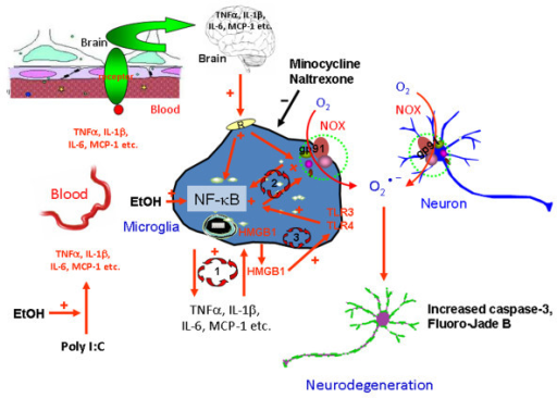 Schematic summary and hypothetical mechanisms of neuroinflammation and neurodegeneration. (Lower left) Chronic ethanol treatment potentiates poly I:C increases serum TNFα IL-1β, IL-6 and MCP-1 protein. These proteins in the blood enter the brain through transport systems or other mechanisms as described in the discussion (upper left). In brain these proinflammatory cytokines activate microglia. Ethanol can also directly activate NF-κB transcription. Activated microglia amplify the brain neuroinflammatory response through at least three potential mechanisms. Loop 1 represents microglial synthesis and release of cytokines that activate transcription factor NF-κB to synthesize and release more inflammatory cytokines, which further activates the microglia, producing more proinflammatory signals. Loop 2 involves activation of NADPH oxidase (NOX) in microglia that produces reactive oxygen species that activate transcription factor NF-κB to synthesize and release more inflammatory cytokines. Loop 3 involves HMGB1, a TLR activator, and TLR3 on microglia that stimulates NF-κB and microglial activation. Cytokine, glutamate and/or ethanol release of HMGB1 that can activate multiple TLR receptors on microglia. Our findings of ethanol increased HMGB1 and TLR3 expression in brain support a role for loop 3 in microglial activation. Together, these amplify proinflammatory responses that spread from microglia to neurons (upper right). Neuronal expression of NOX increases oxidative stress leading to neuronal death. Minocycline and naltrexone block microglial activation and blunt neuronal death. These studies suggest that blood proinflammatory signals contribute to neuroinflammation and neurodegeneration that can be prevented by blocking microglial proinflammatory activation