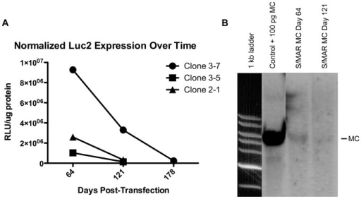 Luciferase activity and S/MAR MCs are slowly lost over time in labeled cell populations.A) Normalized luciferase expression was measured at both day 64 and 121 post-transfection in three S/MAR MC clonal populations. All clones showed a trend (p = 0.18) towards decreased normalized luciferase expression over long periods of time in culture. S/MAR clone 3-7 was cultured up to day 178 after transfection and continued to show a slow loss of luciferase activity. B) The decrease in luciferase expression corresponded to a decrease in Luc2-S/MAR MC as shown via Southern blot analysis. A single band was seen in both control DNA spiked with 100 pg of S/MAR MC and DNA from S/MAR MC clone 3-7 at day 64 post-transfection. However, a band is barely discernable at day 121 from S/MAR MC clone 3-7, indicating a slow loss of S/MAR MC over time.