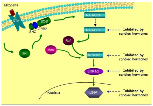 Cardiac hormones inhibit five metabolic targets, i.e., Ras-GTP, MEK 1/2, and ERK 1/2 kinases of the Ras-MEK 1/2-ERK 1/2 kinase cascade by 95-98%. They are also strong inhibitors (i.e., 91%) of DNA synthesis within cancer cells. Reprinted with permission from [54].