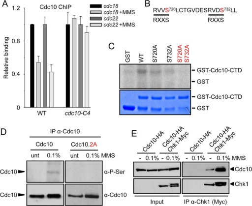 Cdc10 Ser-720 and Ser-732 are phosphorylated by Chk1, inactivating MBF-dependent transcription. (A) Chk1 signals MBF through the C-terminal region of Cdc10. Loading of Cdc10 on cdc22 and cdc18 promoters was measured in untreated or MMS-treated (0.1% MMS, 1 h at 25ºC) cultures of WT and cdc10-C4 strain by ChIP. Average of three individual experiments (±SD). (B) Amino acid sequence of the Cdc10 region phosphorylated by Chk1. The phosphorylation consensus is indicated at the bottom. (C) Chk1 in vitro kinase activity (in arbitrary units) was assayed using GST, WT, Cdc10, or the Cdc10 mutants indicated on top as substrates. Coomassie staining of the gel is shown at the bottom. (D) Cdc10 phosphorylation was determined on extracts prepared from untreated (unt.) or MMS-treated (0.1%) cells from WT (Cdc10) or Cdc10.2A strains. Immunoprecipitates were analyzed by Western blot with anti-phosphoserine (α-P-Ser) or anti-Cdc10 antibodies (α-Cdc10). (E) Extracts from the tagged strains indicated on top, untreated (unt) or treated with 0.1% MMS for 60 min, were immunoprecipitated with anti-Myc antibody and analyzed for the presence of Chk1 and Cdc10 with specific antibodies (HA and Myc, respectively). Left, Western blot of the whole-cell extracts used in the immunoprecipitations.