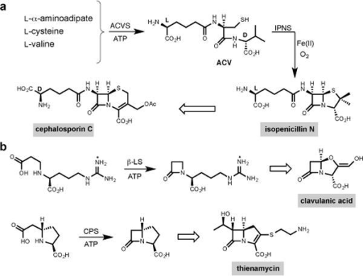 Representative members of the family of β-lactam antibioticsa, ACV [δ-(L-α-aminoadipic acid)–L-cysteine–D-valine] is an NRPS-derived tripeptide from ACV synthetase (ACVS). Isopenicillin N synthase (IPNS) catalyses oxidative β-lactam formation and bicyclisation of ACV to form isopenicillin N with a single molecule of dioxygen and release of two molecules of water. Cephalosporin C is derived after isopenicillin N is epimerised to penicillin N and oxidative ring expansion occurs. b, The clavams and carbapenems are exemplified by clavulanic acid and thienamycin, respectively. Formation of the β-lactam ring that ultimately appears in clavulanic acid and thienamycin is catalyzed by β-lactam synthetase (β-LS) and carbapenam synthetase (CPS), respectively, where transiently formed acyl adenylates are cyclized to β-lactam containing pathway intermediates, AMP and inorganic diphosphate.