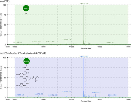 Mass spectral comparison of apo to holo conversion of PCP4 with Sfp and L-pHPG-L-Arg-D-pHPG-dehydroalanyl-S-3′-dephospho coenzyme A (6) forming L-pHPG-L-Arg-D-pHPG-dehydroalanyl-S-PCP4 (7)Top: mass spectrum (ESI+) of apo-PCP4Bottom: mass spectrum (ESI+) of L-pHPG-L-Arg-D-pHPG-dehydroalanyl-S-PCP4 (7) derived from treatment of apo-PCP4 with Sfp and corresponding synthetic eliminated tetrapeptidyl-CoA substrate 6.