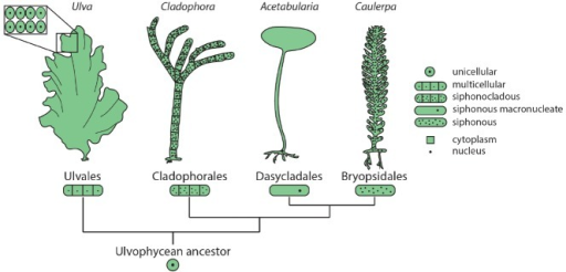 Similarities and dissimilarities of algae and plants.