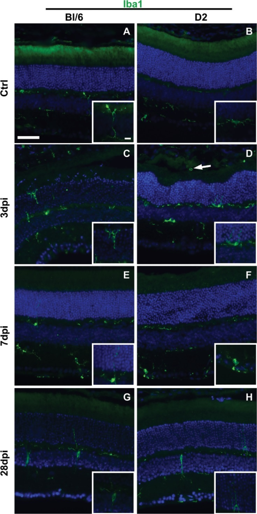 Reactive microglia are present in Bl/6 and D2 retinas after injury.Low magnification epifluorescence micrographs and high magnification micrographs (insets) of control (A-B), 3 dpi (C-D), 7 dpi (E-F) and 28 dpi (G-H) retinas immunolabeled with Iba1 (green) and DAPI (blue). The scale bar for the low magnification micrographs is 50μm. The scale bar for the inserts is 10μm.