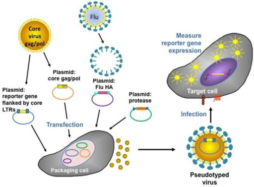Representation of the production and assay of influenza HA pseudotyped retroviruses [72].