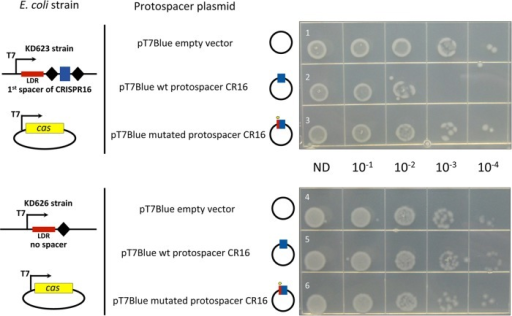 "Functionality of C. difficile cas genes for plasmid interference in E. coli. The transformation efficiency was estimated with pT7Blue derivative plasmids carrying the wild-type (wt) protospacer corresponding to the first spacer of the CRISPR 16 array (CR16) (rows 2 and 5) or a mutated protospacer CR16 (rows 3 and 6) compared to the pT7Blue empty vector used as a negative control (rows 1 and 4). The protospacer plasmid used is indicated to the left of the photographs together with schematic representation of E. coli strains carrying engineered CRISPR arrays with the corresponding spacer under the control of T7 RNAP promoter (T7). E. coli KD623 strain (rows 1 to 3) carries C. difficile CRISPR ""miniarray"" with the first spacer of CRISPR 16 array flanked by repeats, and E. coli KD626 strain (rows 4 to 6) carries reduced ""miniarray"" with one repeat lacking spacer sequence. The CRISPR ""leader"" region (LDR) is indicated. Both strains were transformed with pCDF1-b vector derivative, allowing the expression of C. difficile cas gene set lacking cas1 and cas2 (from CD2982 to CD2977). The Cas protein production and crRNA expression were induced by the addition of 1 mM l-arabinose and 1 mM IPTG. The serial dilutions of transformation mixtures deposited on LB plates with ampicillin are indicated (ND, not diluted)."