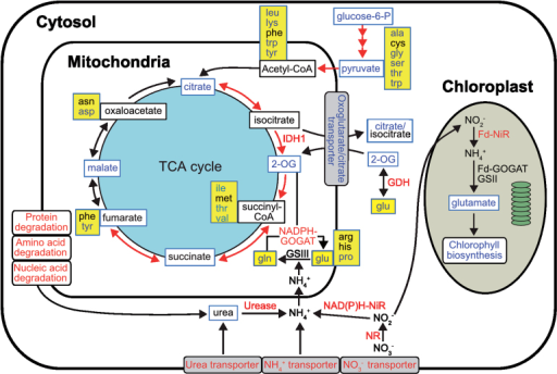 Cellular pathways and processes related to N metabolism under N deprivation in P. tricornutum. Metabolites detected are indicated by a blue box frame. Red, blue, and black text indicate up-, down-, and no regulation of pathways, genes, or metabolites by N deprivation, respectively. Amino acids are indicated by a yellow background. Red arrows depict gene transcripts found to be upregulated. Fd-GOGAT, ferredoxin-dependent glutamate synthase; GSII, ferredoxin-dependent glutamine synthetase; Fd-NiR, ferredoxin-dependent nitrite reductase; GDH, glutamate dehydrogenase; GSIII, bacterial-origin glutamine synthetase; IDH, isocitrate dehydrogenase; NADPH-GOGAT, NAD(P)H-dependent glutamate synthase; NAD(P)H-NiR, NAD(P)H-dependent nitrite reductase; NR, nitrate reductase.