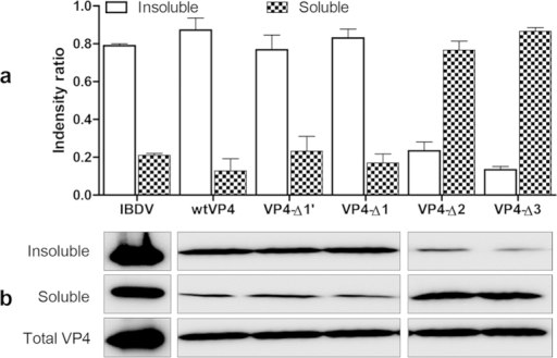 Assembly greatly decreases the solubility of VP4 protein.Plasmids pEGFP-wtVP4, pEGFP-VP4-C∆1, pEGFP-VP4-C∆1′, pEGFP-VP4-C∆2 and pEGFP-VP4-C∆3 were transfected into DF-1 cells, and IBDV-infected cells were used as a control. Cells were lysed with TX-100-containing lysis buffer at 24 h after transfection or infection. The TX-100-insoluble and TX-100-soluble fractions were analyzed by 12% SDS-PAGE and Western blotting using anti-VP4 mAb. (a) Volume quantification of VP4 bands was detected using Quantity One software (N = 2). (b) Western blots of bands corresponding to VP4. Soluble VP4 protein was increased in DF-1 cells transfected with pEGFP-VP4-C∆2 and EGFP-VP4-C∆3.